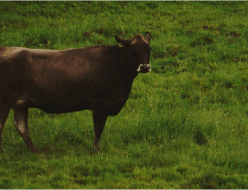Penggunaan USG sebagai alat diagnosis kebuntingan pada sapi
