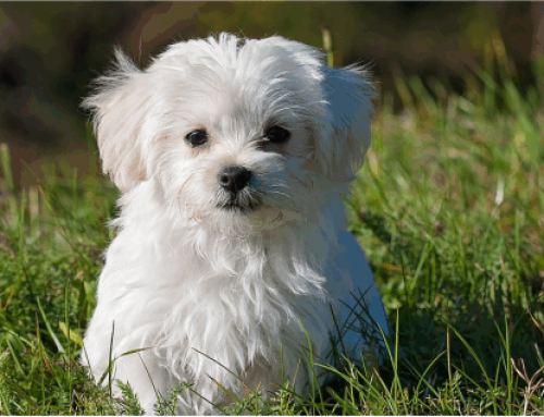 Menjaga kesehatan kulit anjing dalam canine dermatology